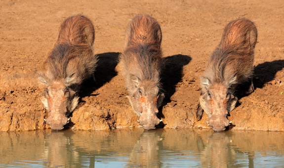 Warthogs at a drinking hole